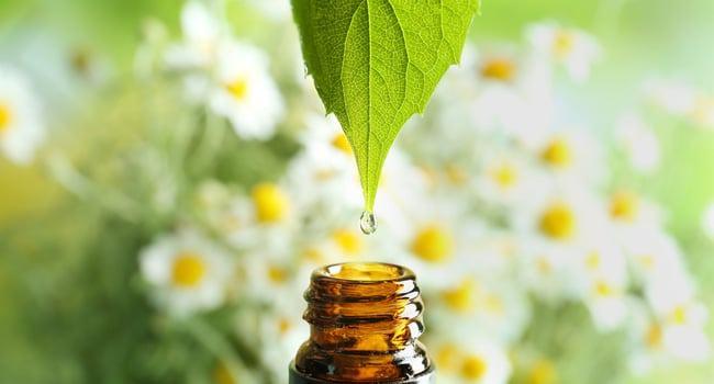 obtención del aceite esencial de manzanilla
